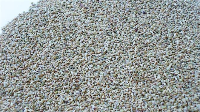 Carom Seeds Or Ajwain Benefits Of Ajwain Water Ajwain Powder Swasthi S Recipes